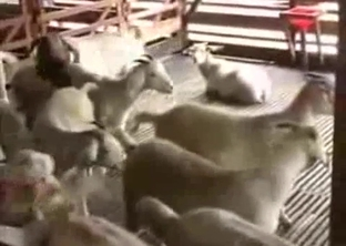 Young lambs are trying to fuck in barn